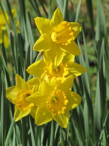 Sunny Daffodils along the Road Taken February 15, 2015