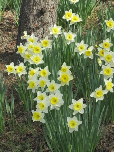 Lemony Daffodils Taken February 15, 2015