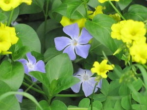Vinca and Yellow wood sorrel (Sour Grass) along the dry creek bed at Penitencia Creek Park. Photographed March 13, 2015