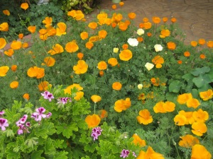 California Poppies in my Garden! Taken March 22, 2015