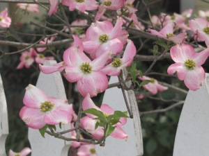 Pink Dogwoods blooming in Murphys. taken April 6, 2015