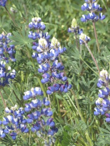 Gorgeous Lupine! taken April 6, 2015