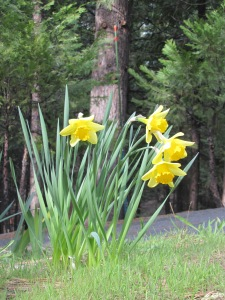 Daffodils blooming in front of the cabin drive.