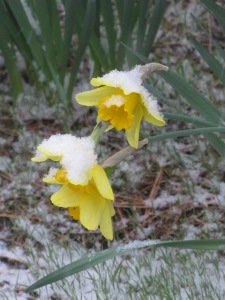Daffodils in the snow. taken April 7, 2015