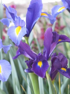 Blue and Purple Dutch Iris. The perfect combination! April 8, 2015