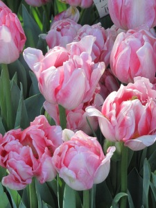 Beautiful frilly, pink tulips. April 8, 2015