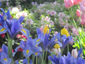 Iris, tulips, and azaleas at Ironstone. April 8, 2015