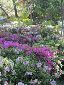 A sea of azaleas. April 8, 2015