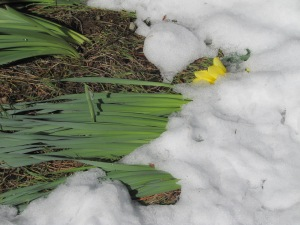 The daffodils breaking through the snow! April 9, 2015