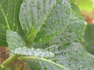 Dewey leaves on grandma's hydrangea