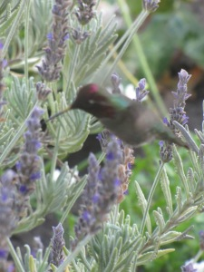 A rare visitor!  A red-headed humming bird.  A little blurry, but he was truly gorgeous.