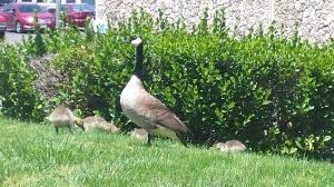 Geese at Kaiser May 11, 2015