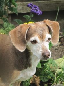 Happy Birthday, Bella! June 3, 2015 in the backyard