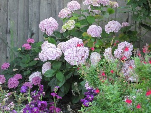 Purple Stock, Grandma's hydrangea, and red sage blooming in the garden.