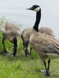 There were several youngsters, but mostly they had lost their downy feathers.  They loved the moist grass!